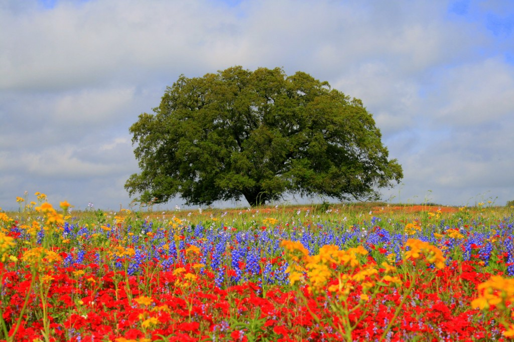 Large old green tree in field of flowers photo on Alice Walkers Garden