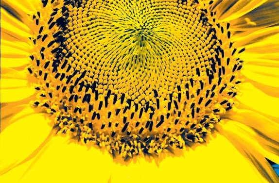 Sunflower Close Alicewalkersgarden Alice Walker Author
