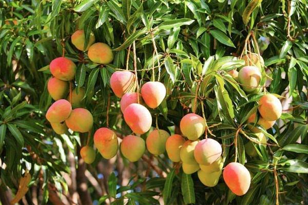 mango-tree-alice-walker-post-2018-01-06
